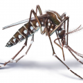 Image for Exotic mosquito species established in New Zealand